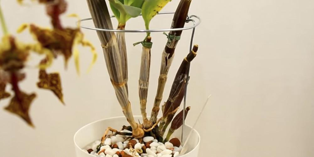 Ризоктониоз на орхидеях1