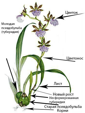Строение орхидеи Зигопеталум