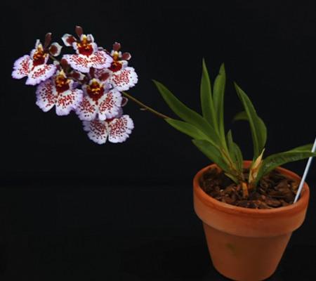 Tolumnia мини орхидея