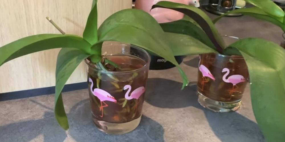 Чай для орхидей