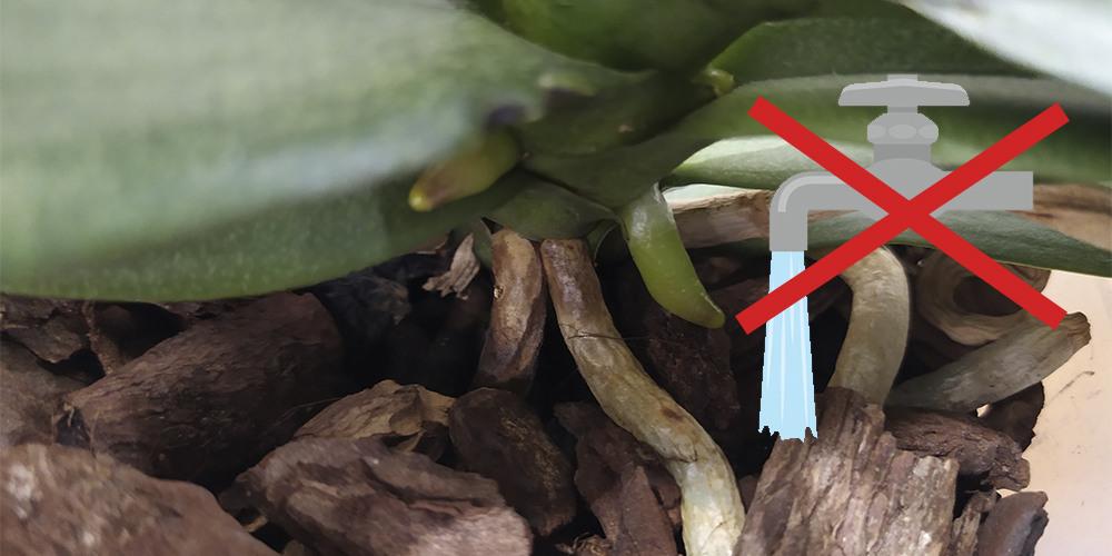 Поливать орхидеи плохой водой