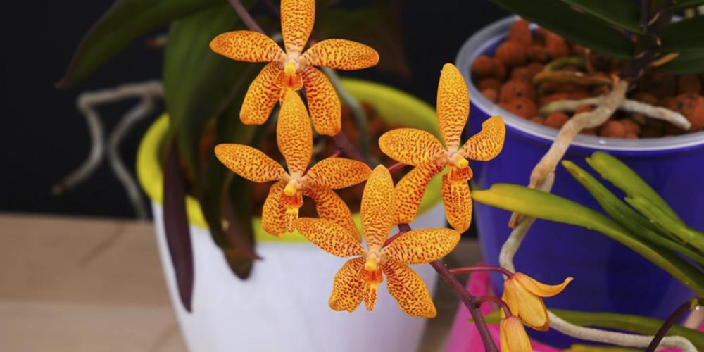 Renanthopsis (Phalaenopsis × Renanthera)