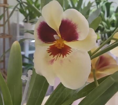 Цветение Мильтониопсиса