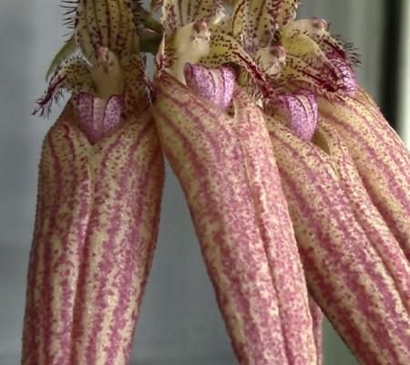 Цветение бульбофиллума