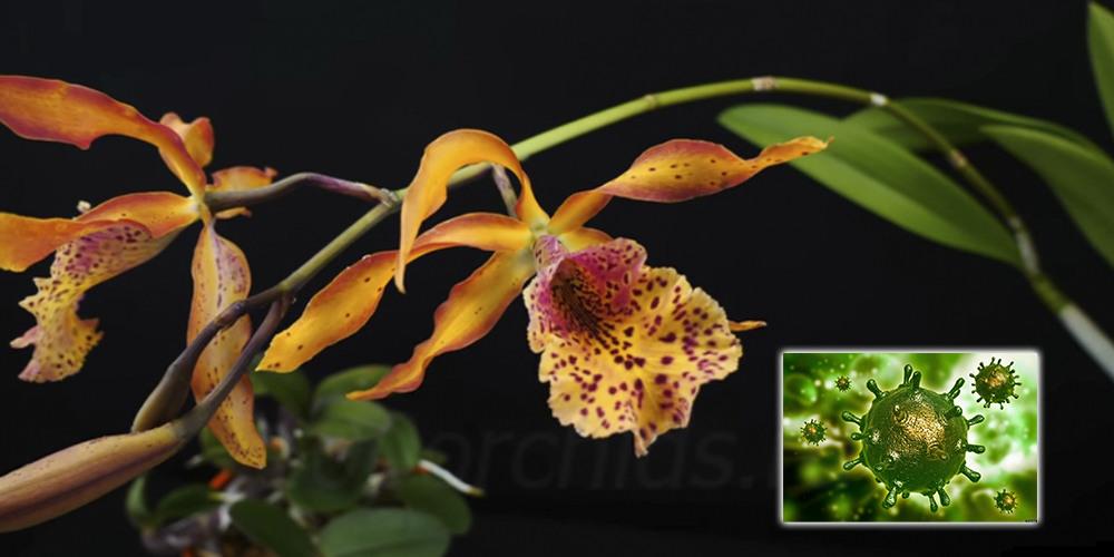Вирус у орхидеи01