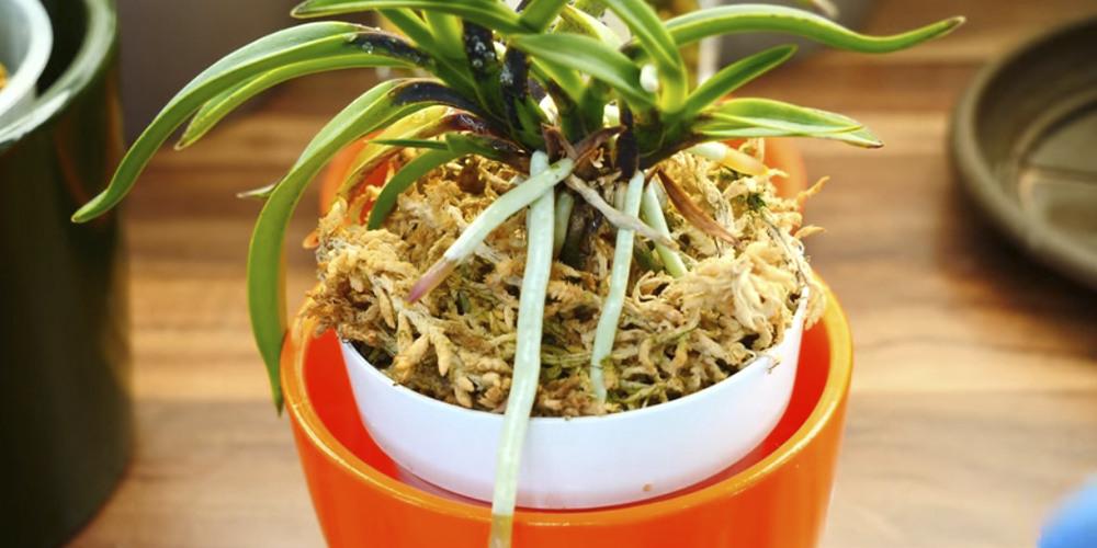 посадка орхидеи в новозеландский мох