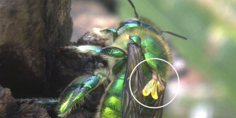 Семя на крыле у пчелы