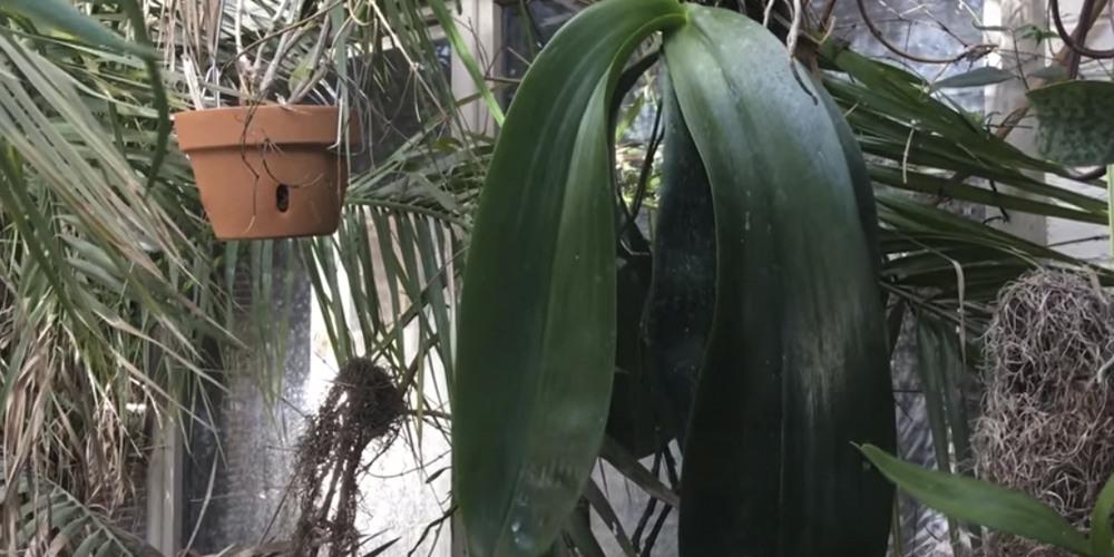 Phalaenopsis gigantea 1