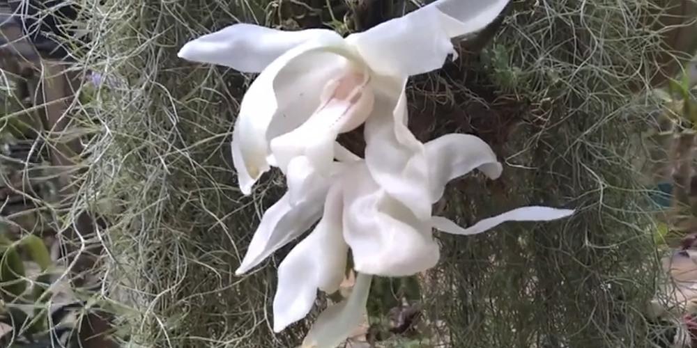 орхидея Стангопея1
