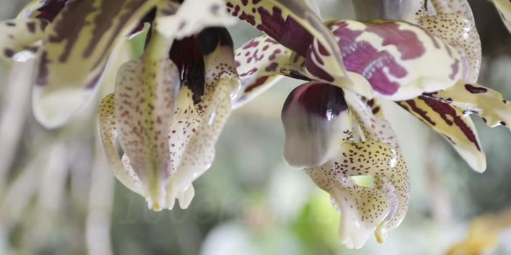 орхидея Стангопея7