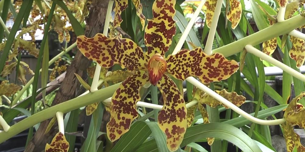 Тигровая орхидея 5