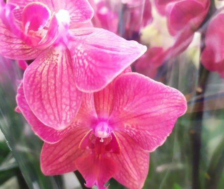 Орхидея фаленопсис кораллового цвета