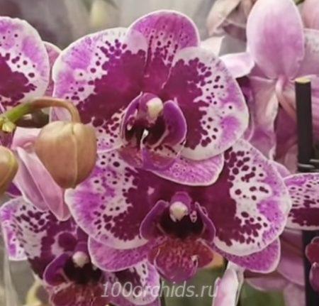 Орхидея фаленопсис Happy girl