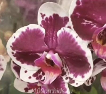 Орхидея фаленопсис Elegant Beauty
