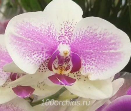 Орхидея фаленопсис Octopus