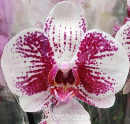 Орхидея фаленопсис бело-розовая