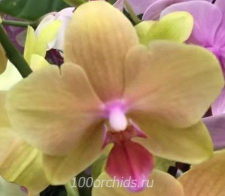Орхидея фаленопсис Twilight Festival