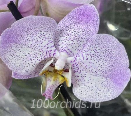 Aalborg орхидея фаленопсис