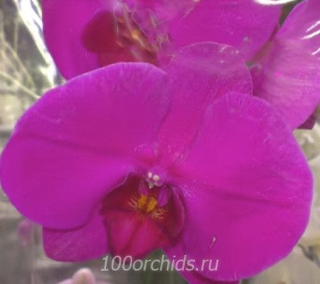 African Queen орхидея фаленопсис