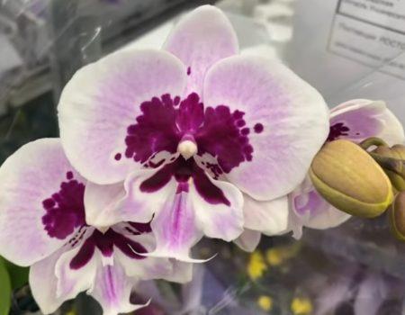 Орхидея фаленопсис Аладдин