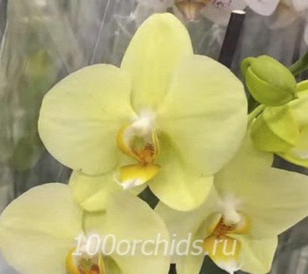 Alassio орхидея фаленопсис