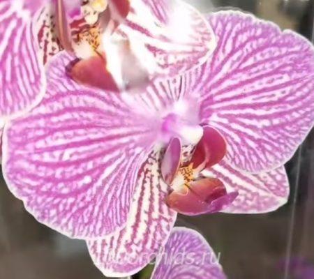 Орхидея фаленопсис Arcadia