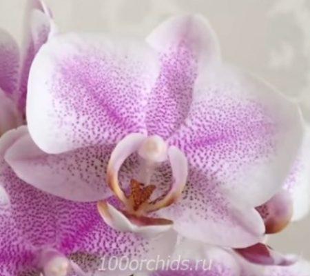 Орхидея фаленопсис Амстердам