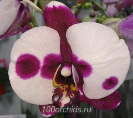 Орхидея фаленопсис Asian Jungle