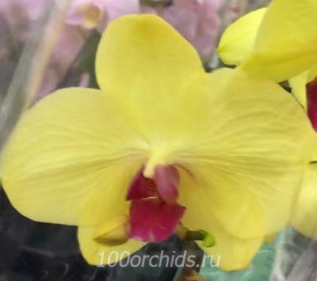 Atena орхидея фаленопсис