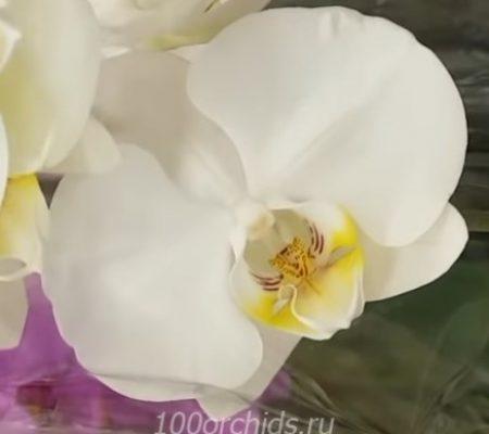 Balance орхидея фаленопсис