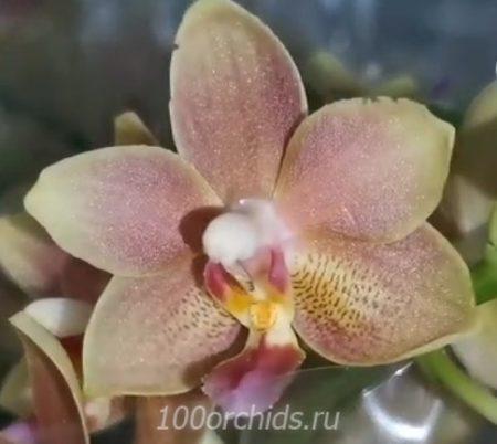 Орхидея фаленопсис Balm aroma midi