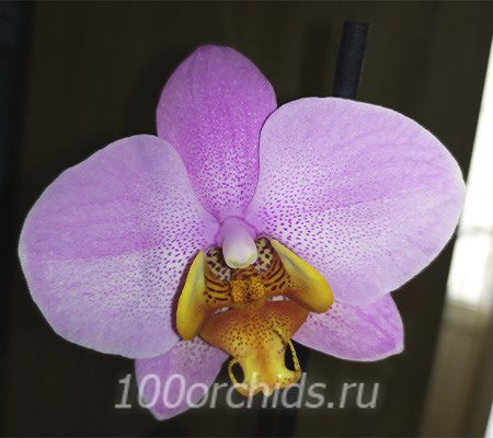 Beaumont орхидея фаленопсис