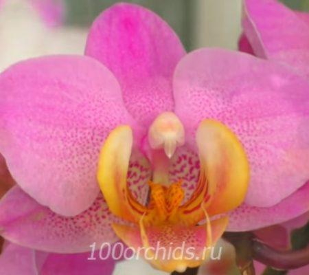 Орхидея фаленопсис Beaumont