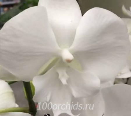 Ice Whisper орхидея фаленопсис