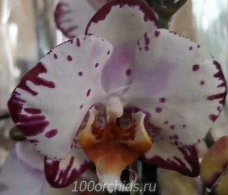 Орхидея фаленопсис Bernadeta