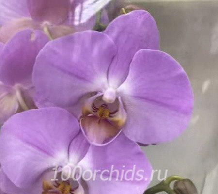 Biblion орхидея фаленопсис
