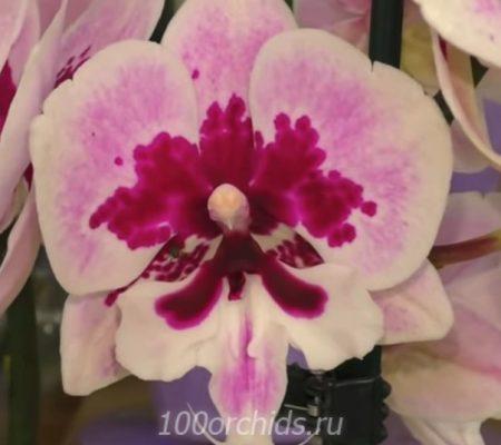 Орхидея фаленопсис Скрипка биг лип