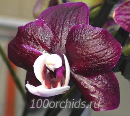 Black Widow орхидея фаленопсис