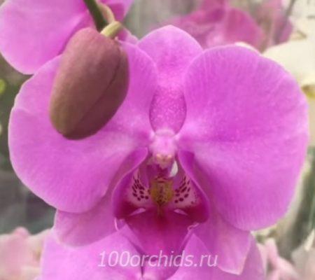 Орхидея фаленопсис Bloomington