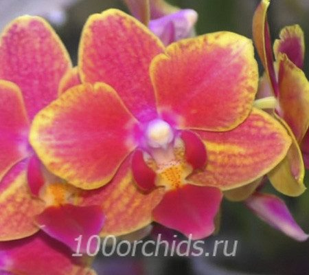 Bowdion орхидея фаленопсис арома мини