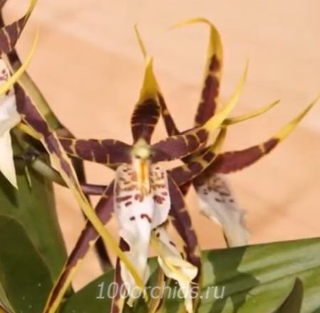 Камбрия Brassia Toscane