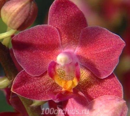 Орхидея фаленопсис Brazilian Fever мини