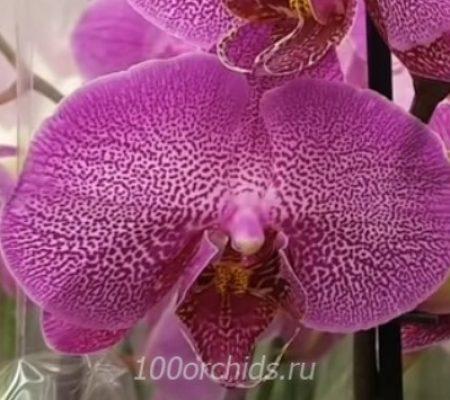 Орхидея фаленопсис Britney