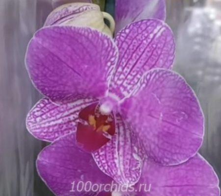 Buena орхидея фаленопсис