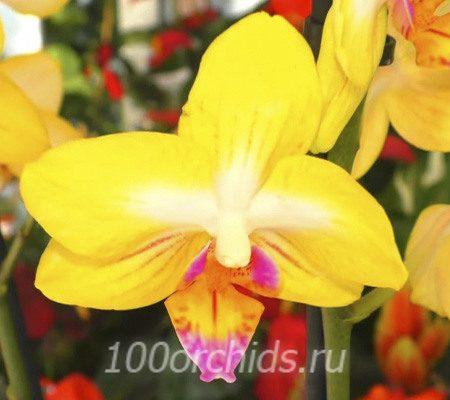 Buttercup орхидея фаленопсис