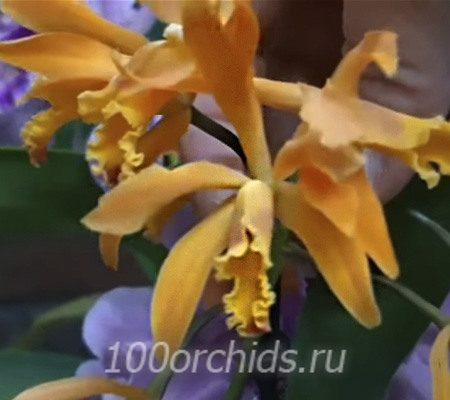Каттлея оранжевая
