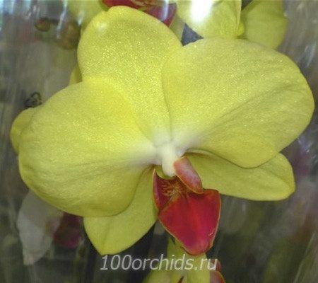 Califo орхидея фаленопсис