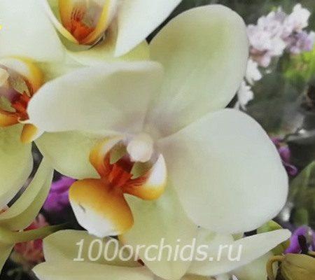 Cancun орхидея фаленопсис