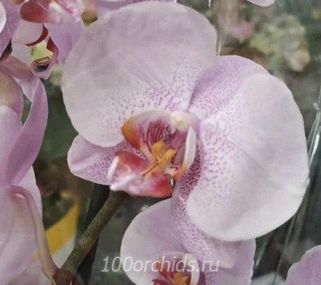 Candy Floss орхидея фаленопсис