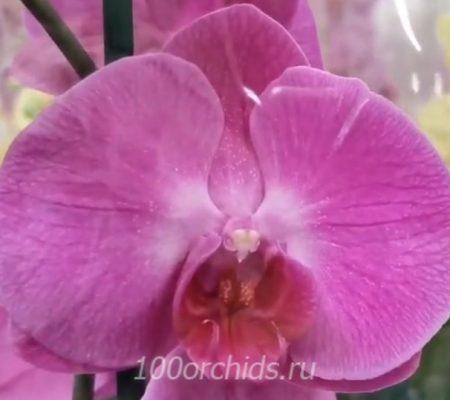Орхидея фаленопсис Cansas City
